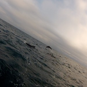Pilot whales. Photography courtesy of Jonathan Hyde.